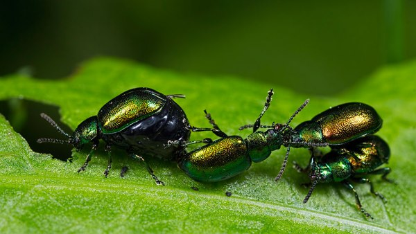 Male Doc Leaf Beetles fighting over a female (2)