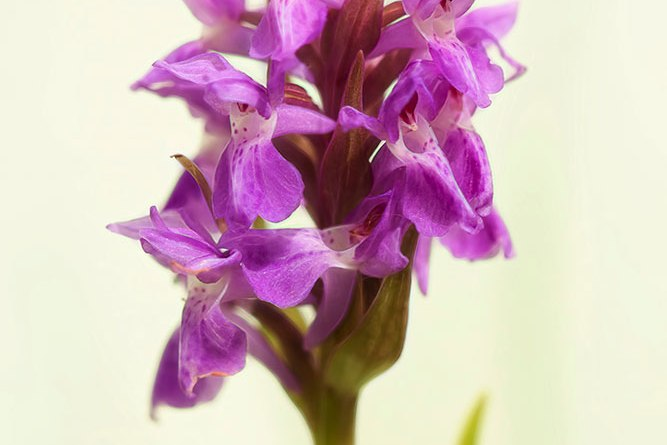 Southern Marsh Orchid with Glow Effect Applied