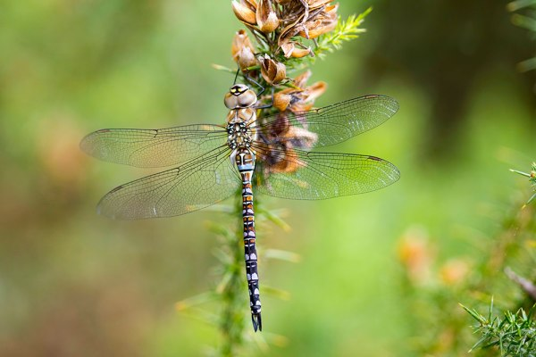 Migrant Hawker - 3 Images Stacked