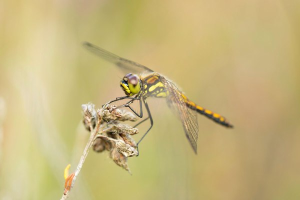 Female Black Darter on Heather (2)