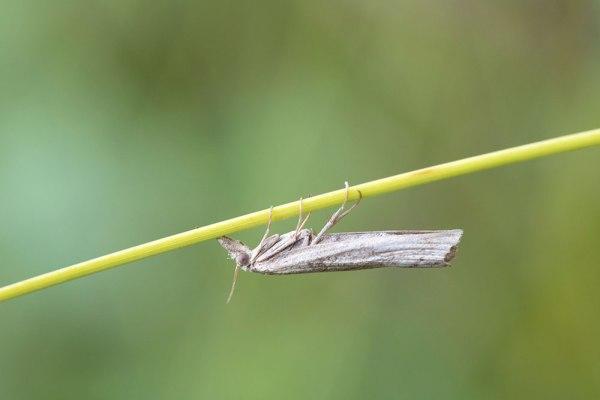 Veneer Moth