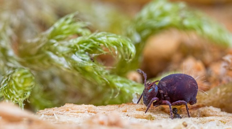 Darth Springtail