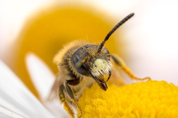 Solitary Bee Feeding in Daisy