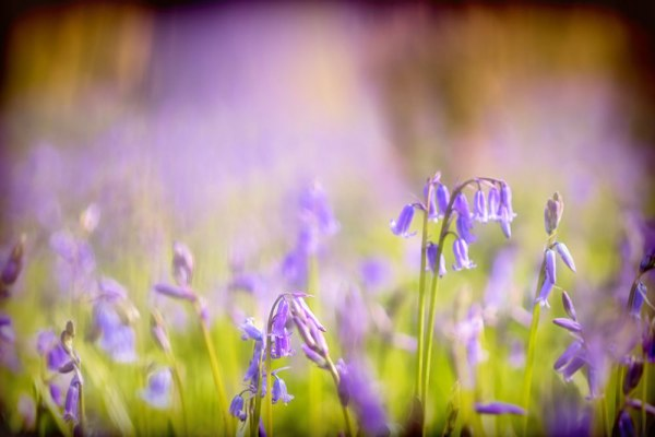 Delicate Bluebell Wood