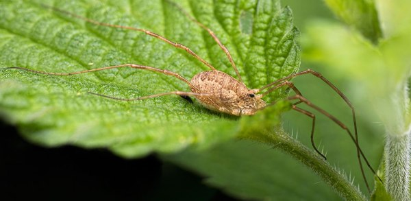 5 Image Panorama Macro of a Harvestman Spider