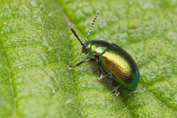 Doc Leaf Beetle