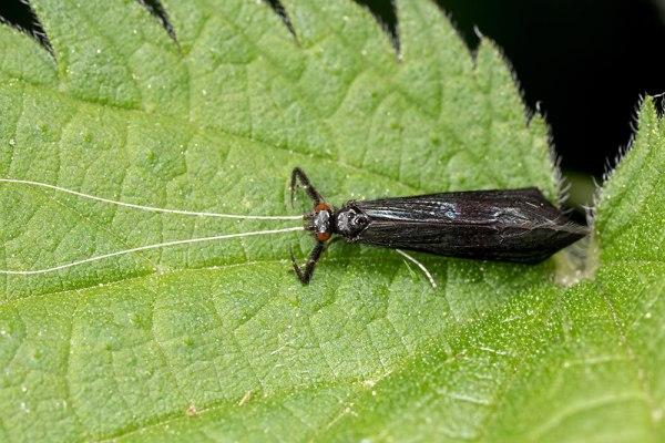 Mystacides azurea