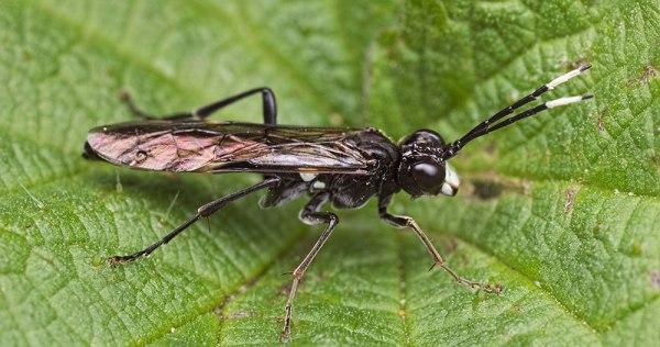 Tenthredo livida Wasp