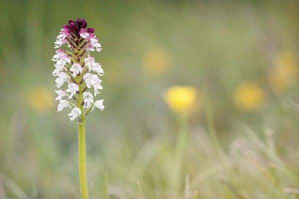 Burnt Tip Orchid (2)