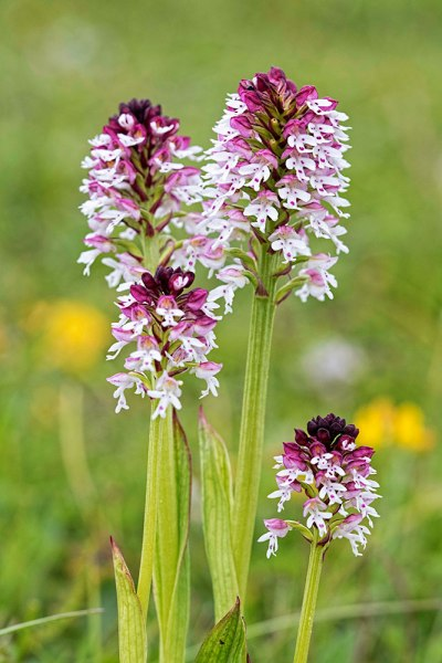 Burnt Tip Orchid (4)