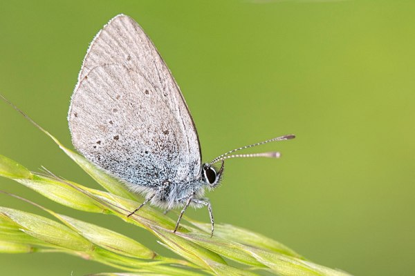 Small Blue (2)