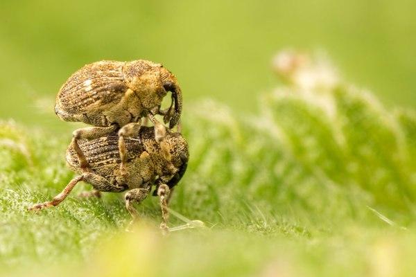 Weevil Riders