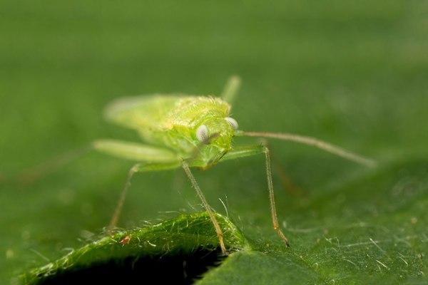 Green Bug (2)