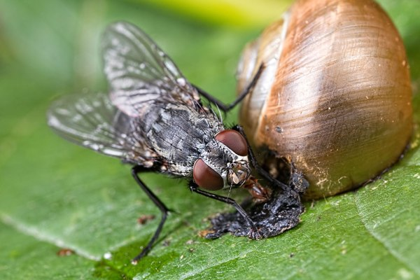 Fly eating from a dead snail