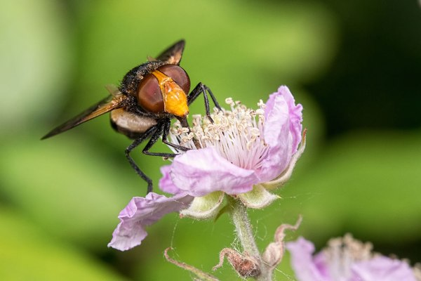 Great Pied Hoverfly nectaring on a bramble flower