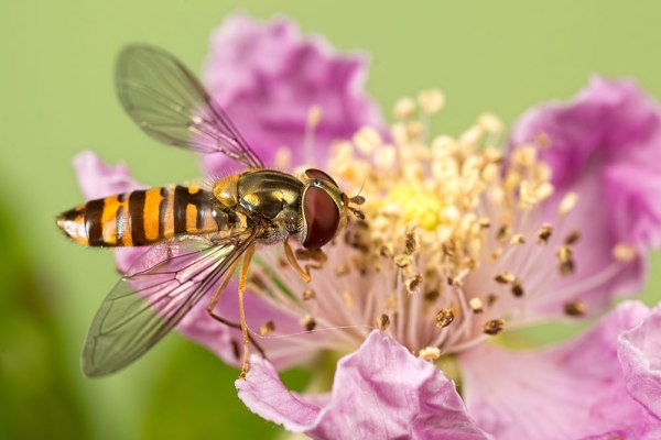Small hoverfly on bramble flower