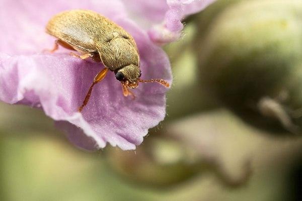 Tiny beetle on a bramble petal