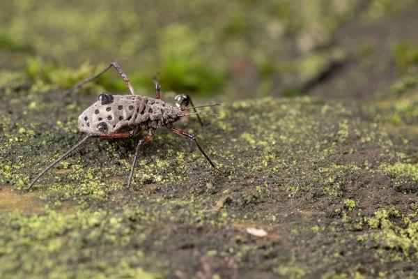 The fence crawling bug