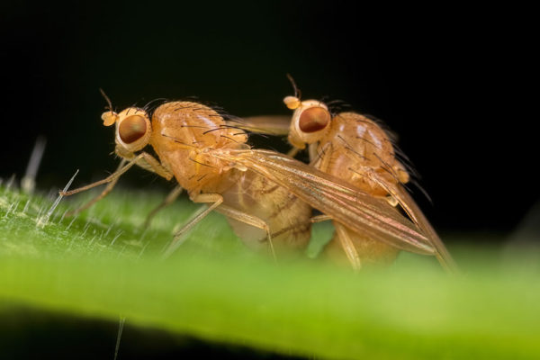 Up Close with Mating Rust Flies