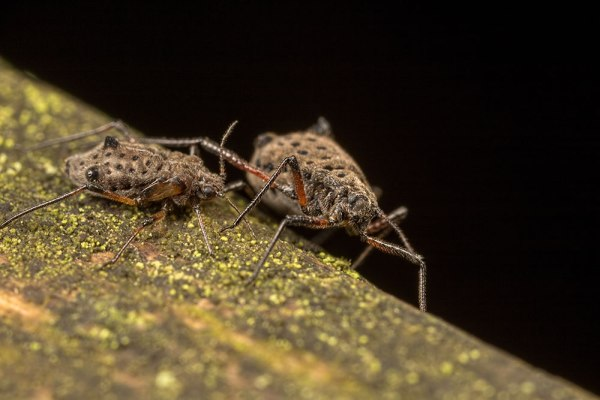 Pair of Giant Willow Aphids