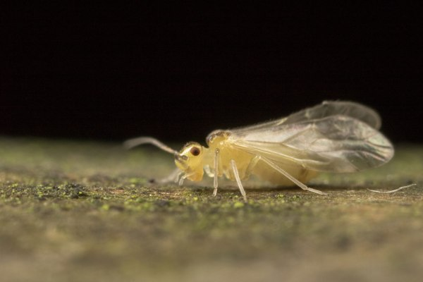 Barkfly (2)