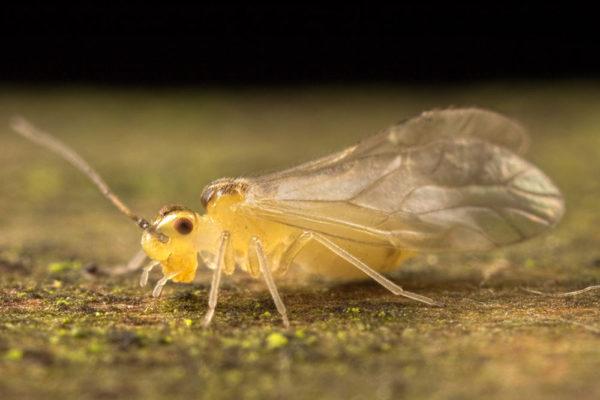 Barkfly