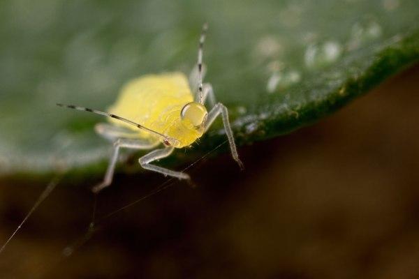 Drop Head Bug