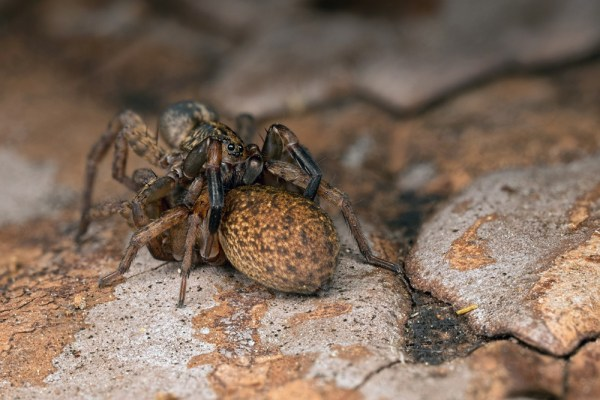 Mating Wolf Spiders