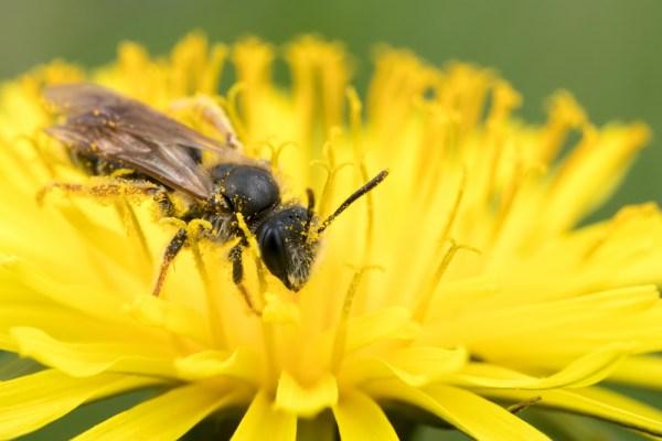 Mining Bee on Dandelion