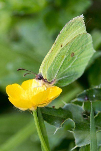 Brimstone on Buttercup
