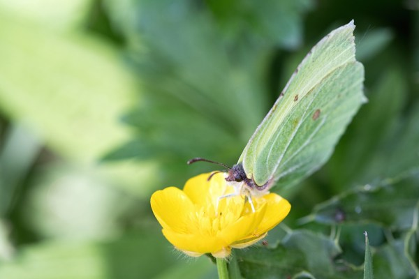 Brimstone on Buttercup (2)
