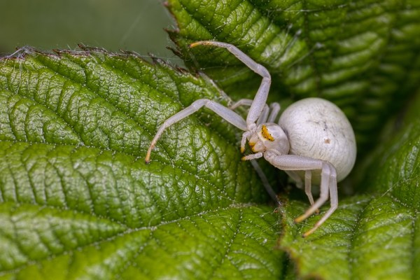 Crab Spider in Nettle