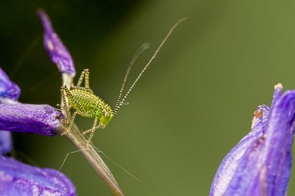 Bush Cricket nymph on Bluebells