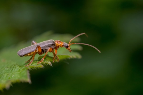 Soldier Beetle on Neetle