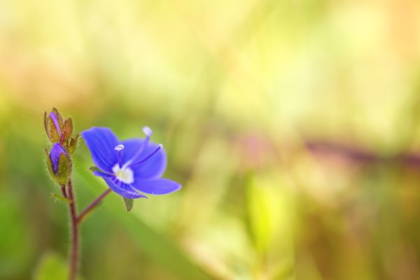 Bird's Eye Speedwell (Veronica chamaedrys)