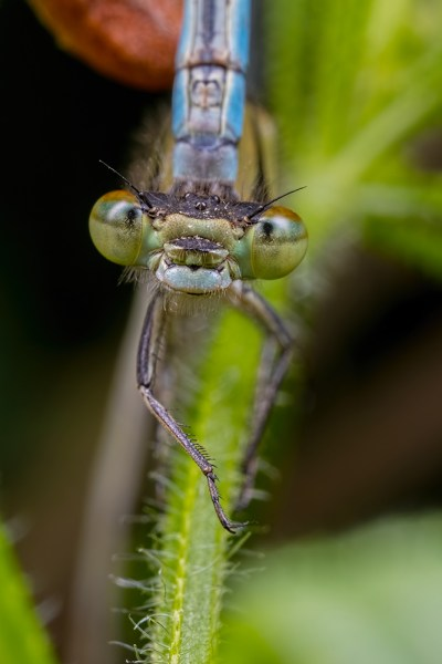 Female Common Blue Damselfly Mating