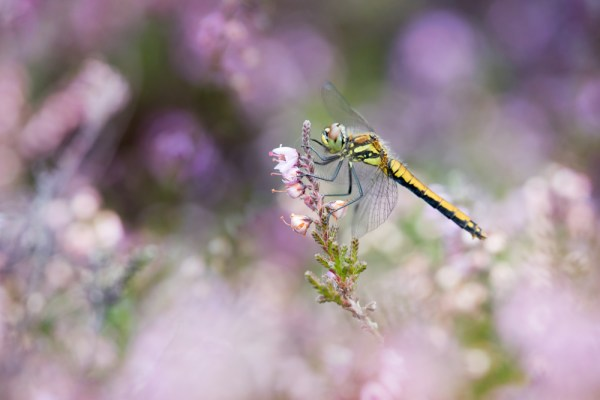 Black Darter in the Heather