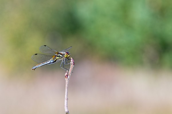 Dragonfly resting on a bud