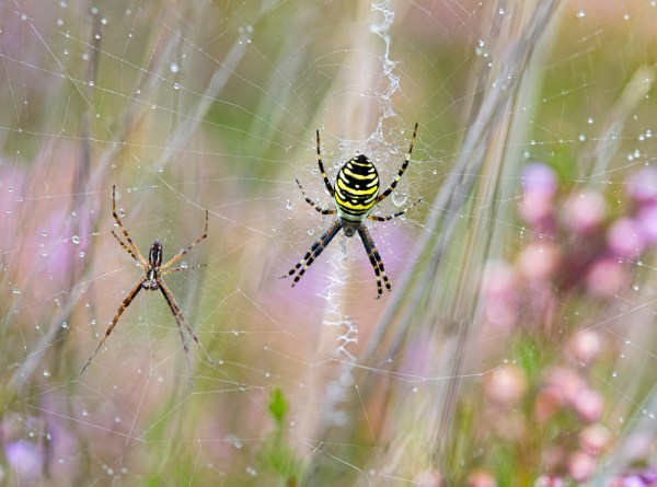 Wasp Spiders ( Male and Female)
