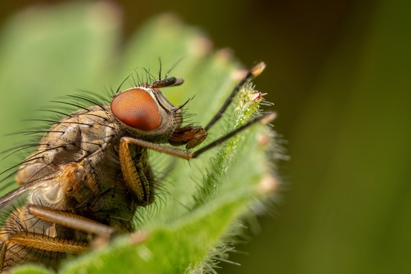 Fly in nettles