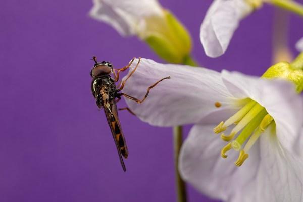 Hoverfly on Purple