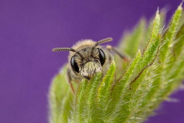 Minor Bee on Purple
