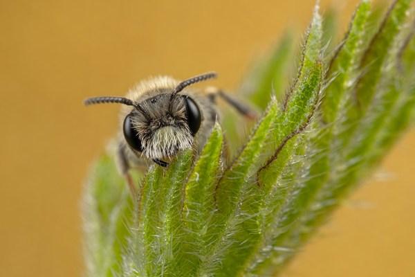 Minor Bee on Orange (Gold)