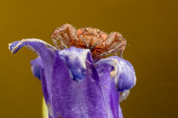 Crab Spider on Bluebell ( Gold background )
