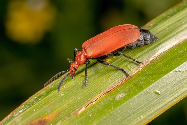 Red-headed Cardinal Beetle