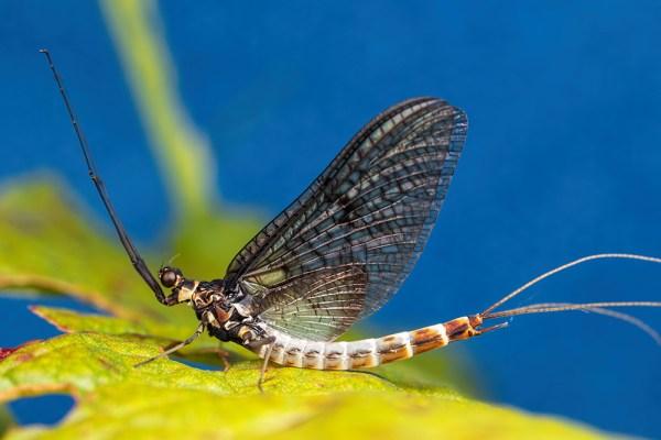 Mayfly on leaf