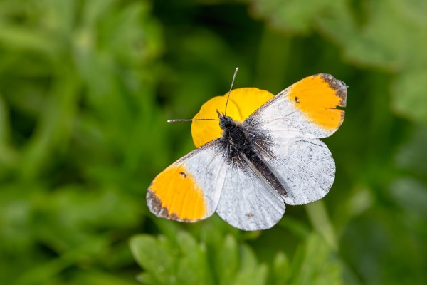 Orange Tip on Buttercup