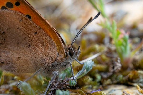 Small Copper Up Close
