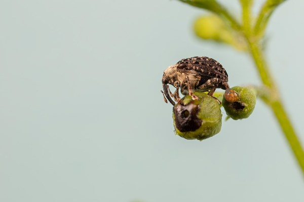 Figwort Weevil laying eggs