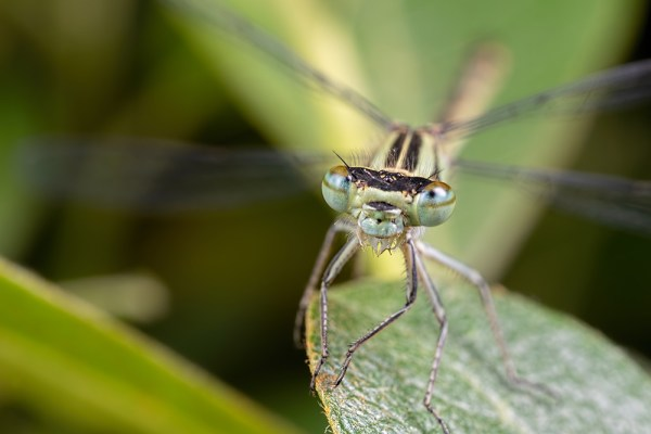 Damselfly Face